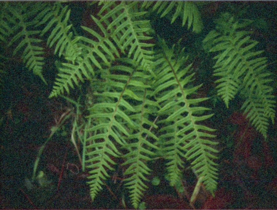 Fern, Libby Pond, Curry County, OR, Minolta AutoPAK 440E 110, Andrew D. Barron©12/20/10