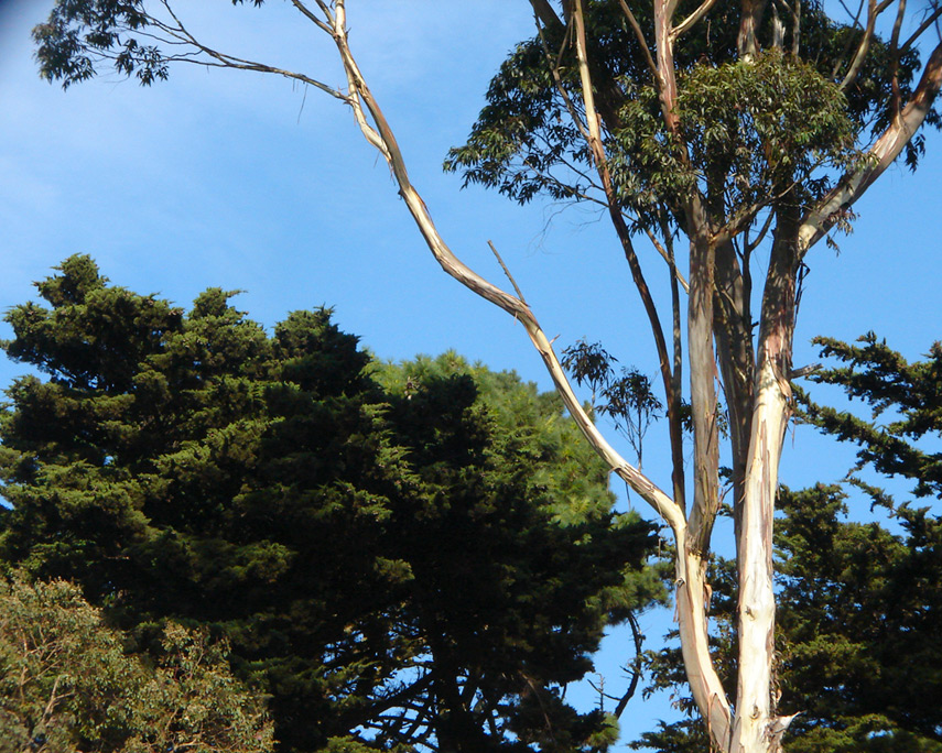 Eucalyptus, Rooster Stage, Golden Gate park, Andrew D. Barron©10/1/11