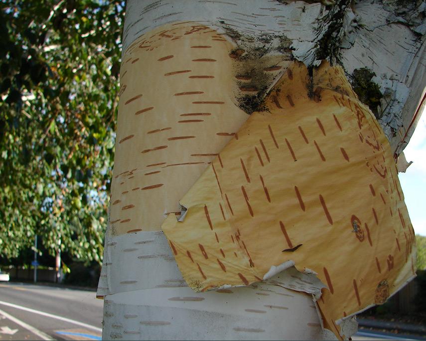 Vancouver tree, Andrew D. Barron©10/24/11