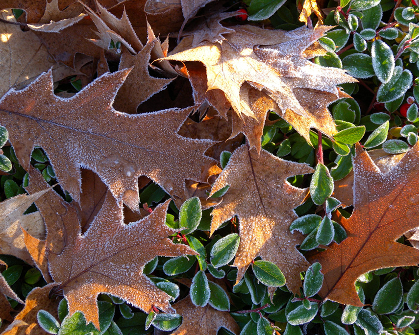 Frosty leaves, Vancouver, WA, Andrew D. Barron©11/1/11