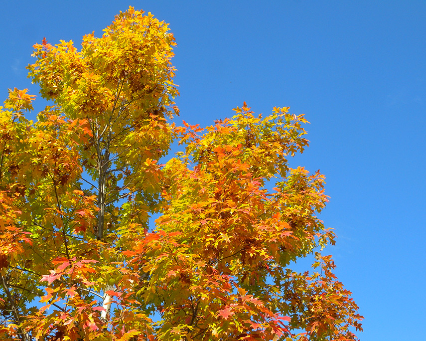 Bright leaves, Vancouver, WA, Andrew D. Barron©11/1/11