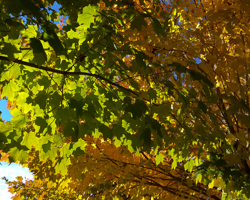 More leaves, Vancouver, WA, Andrew D. Barron©11/1/11