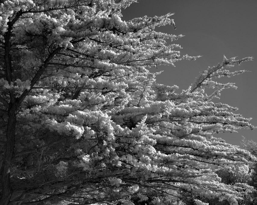 Cypress, Andrew D. Barron ©2/22/11