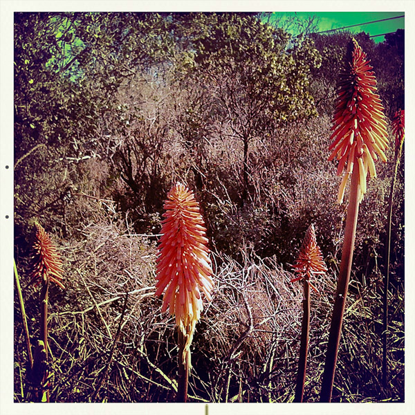 Nesika Beach red hot pokers, Curry County, OR, Andrew D. Barron ©2/9/11