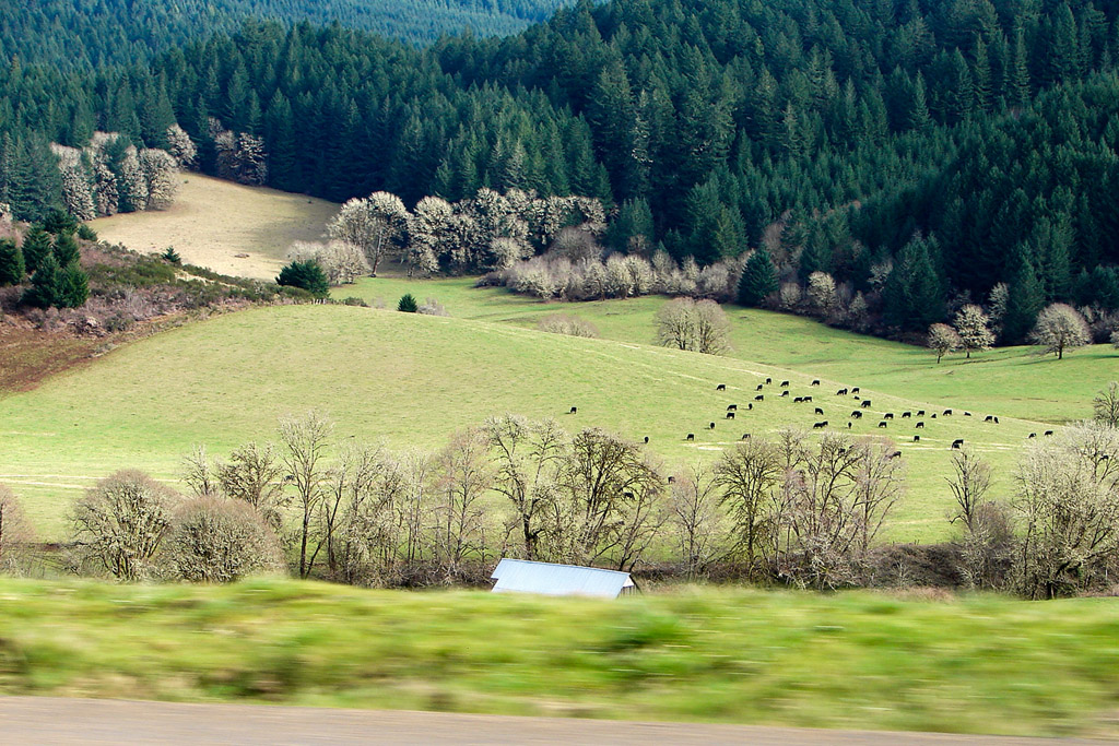 Cows, Andrew D. Barron ©3/1/11