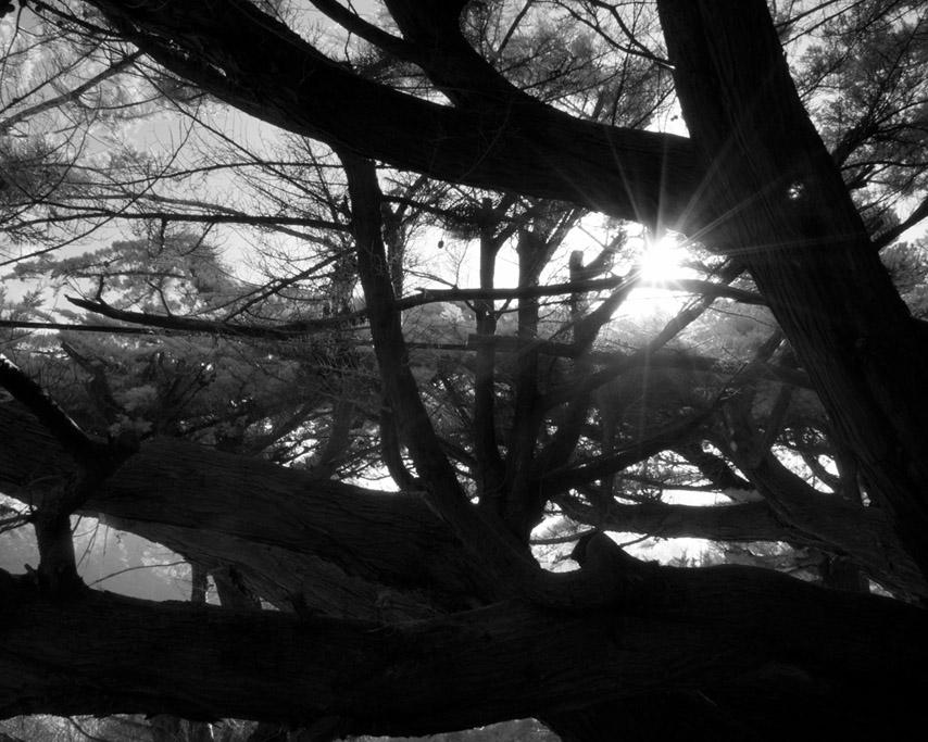 Storied cedar, Andrew D. Barron ©3/6/11