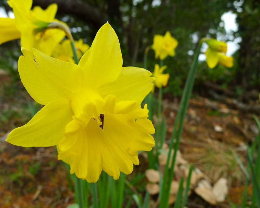 Daffodils, Andrew D. Barron ©3/5/11
