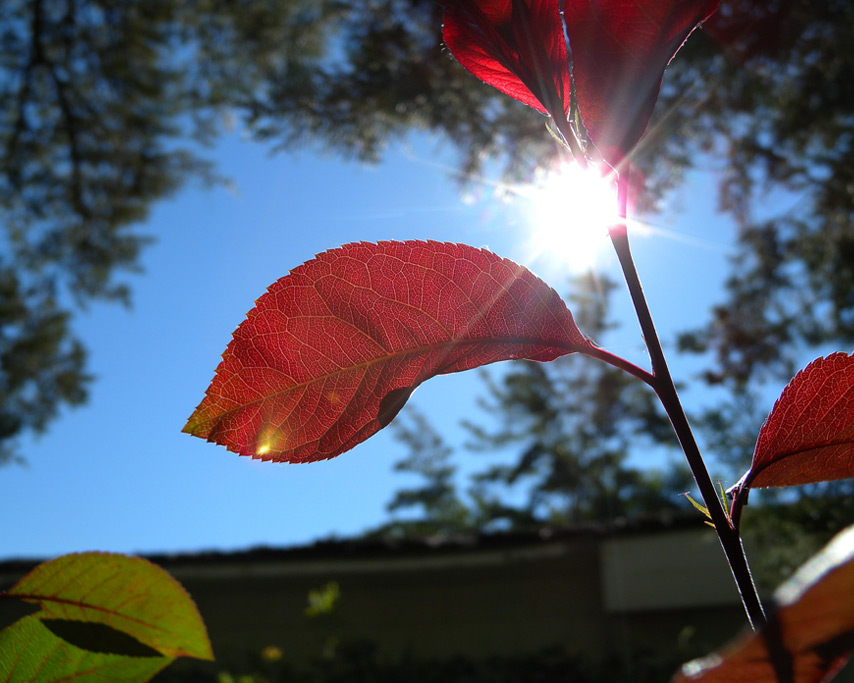 Leaves, Reno, NV, Andrew D. Barron©7/2/11