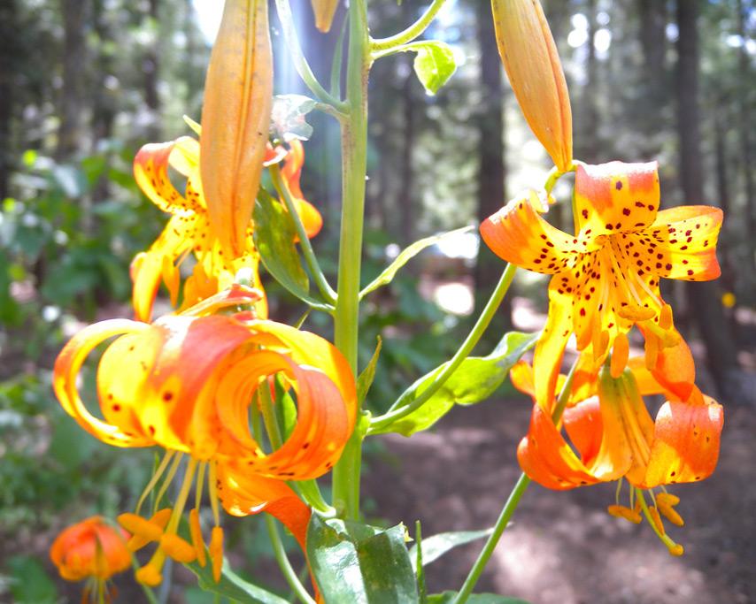 Johnsville flower, Andrew D. Barron©7/13/11