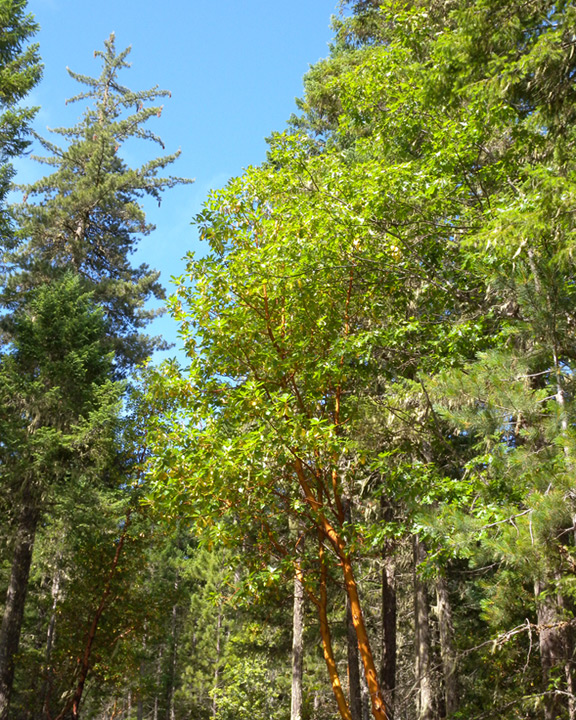 Madrone in Rogue national forest near Selma, OR, Andrew D. Barron©7/21/11