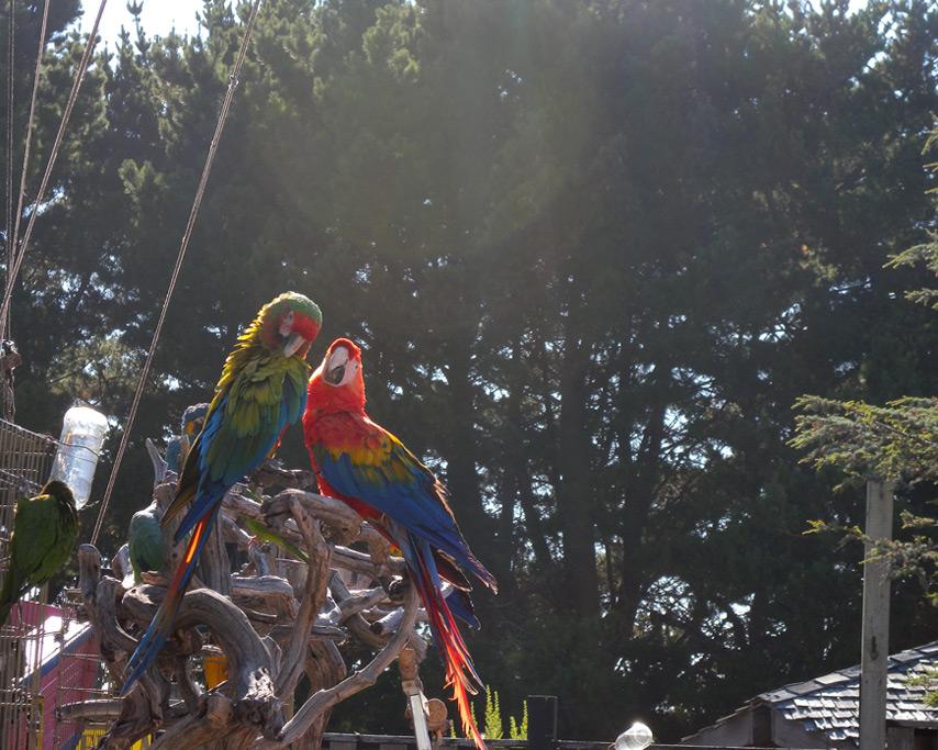 Parrots,, Curry County Fair, Andrew D. Barron©7/30/11