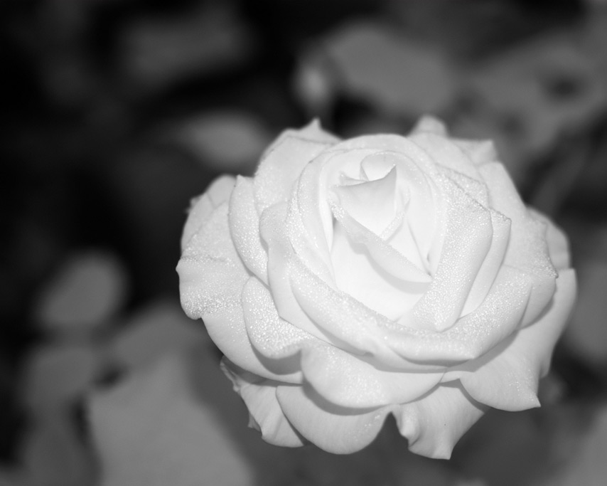 Infrared flash photography: rose, Andrew D. Barron©7/24/11
