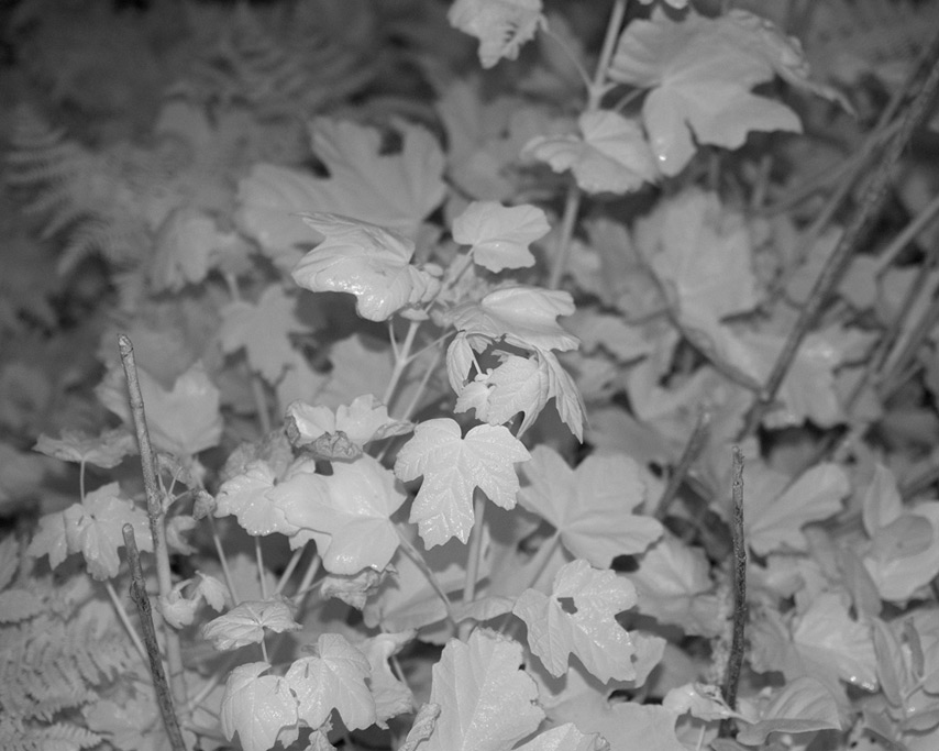 Infrared flash photography: leaves, Andrew D. Barron©7/24/11