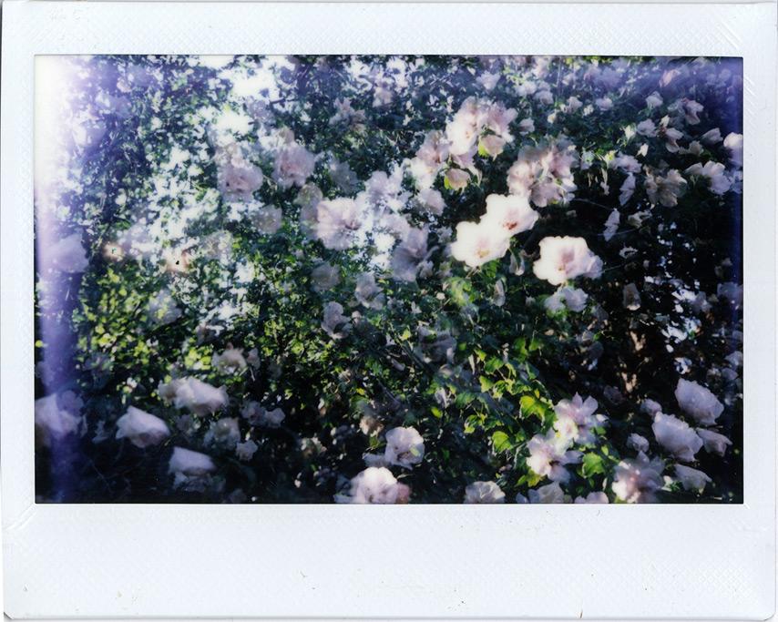 Flowers: Instax 210 double exposure, Andrew D. Barron©7/16/11