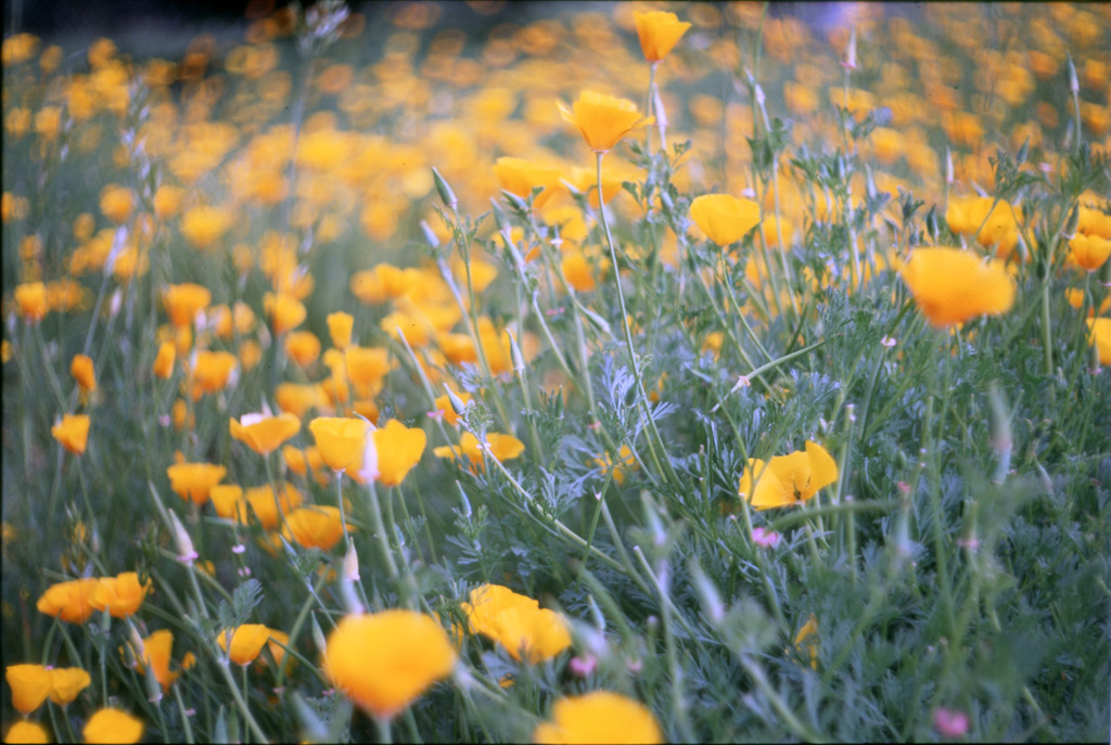 Agness poppies, Andrew D. Barron©5/27/12