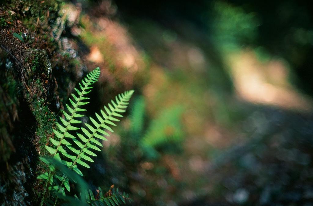 Sweet fern, Andrew D. Barron ©5/9/12