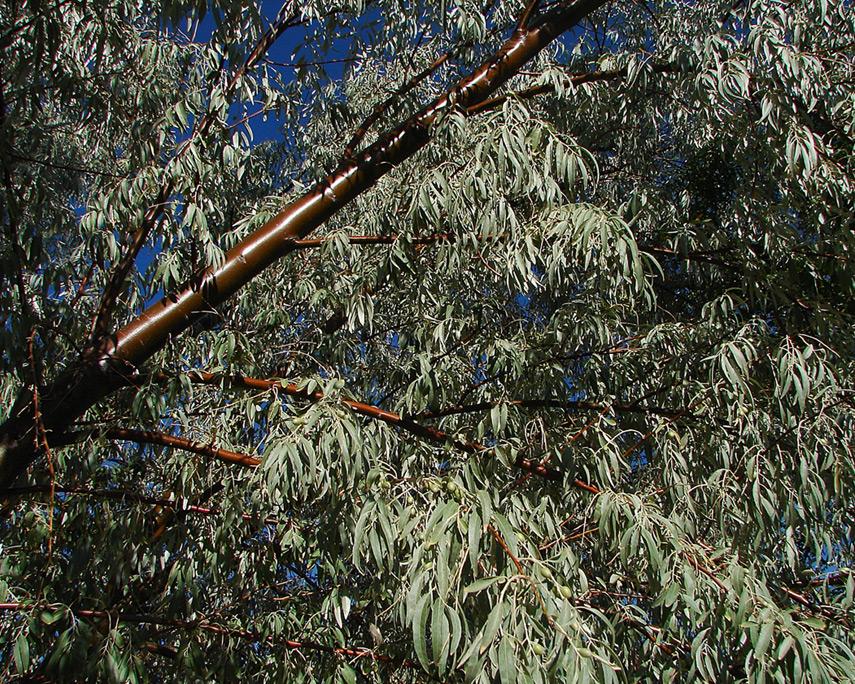 Desert treeAndrew D. Barron©8/2/2012