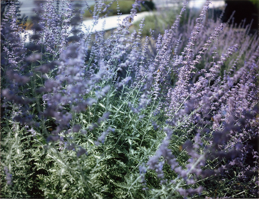 Bees on lavender, Reno, NV, Andrew D. Barron©9/17/12 [Land Camera 100:Pack 1 shot 3 (FP100C)]