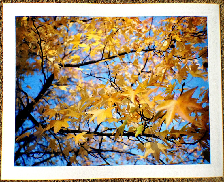 Downtown Chico leaves, Andrew D. Barron©11/23/12 [Polaroid 330, FP110C]